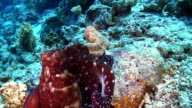 Octopus on Coral Reef video
