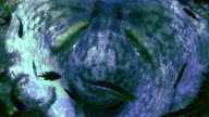 octopus on reef video