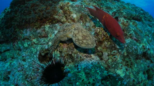 Octopus, urchin, reef fish video