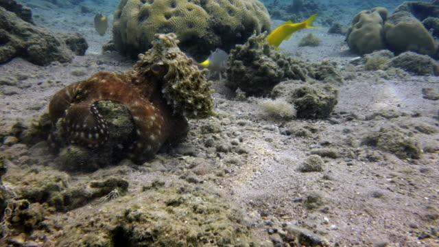Octopus video