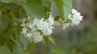 of white lilac branch slow motion video video