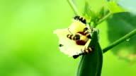 oil beetles and flowers of Okra video