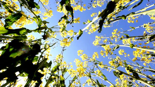 oil seed rapeseed video