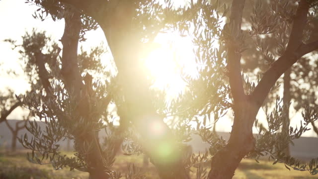 oil trees with sun video
