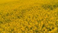 oilseed rape video