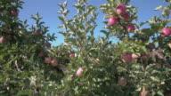 Okanagan Apple Orchard 4K UHD video