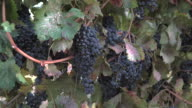 Okanagan Grapes Ready for Harvest video