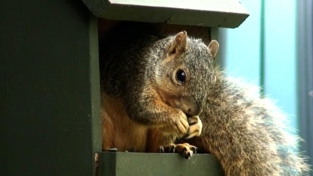 Oklahoma Squirrel video