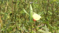 Okra Plant video