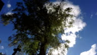 Old birch tree against the sky, time lapse video