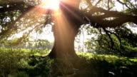 Old British Oak Tree video