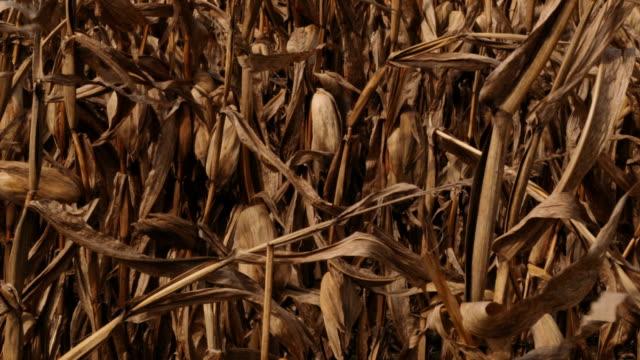 Old Corn Stalks In Field video