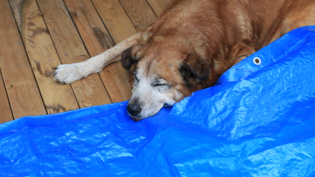 Old Dingo Sleeping on a Wooden Deck video