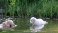 Old Golden  Retriever shows a Puppy how to swim video