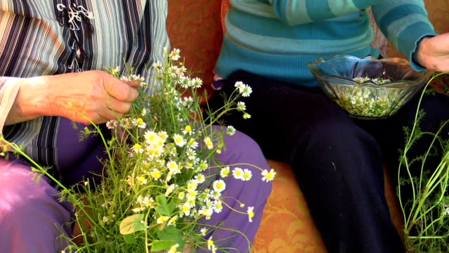 Old grandmother and young girl pick camomile flower blooms video