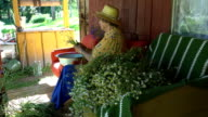 Old grandmother woman with hat pick chamomile flower herbs video