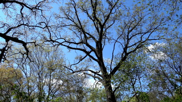Old High Oak Let Out Young Green Leaves in Spring video