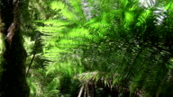 SLOW MOTION: Old lush fern and big ancient tree growing in vast overgrown forest video