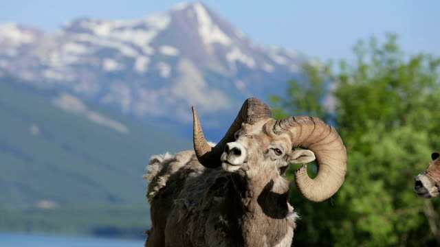 Old mountain sheep in the mountains video