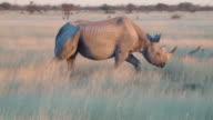 Old rhino close up walking field Etosha Namiba Africa video