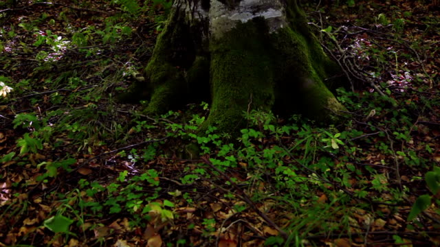 Old Tree in a Sunny Forest video