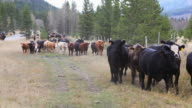 Old West Cattle Stampede video