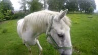 old white horse grazing on a grassy meadow video