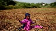 Old women harvesting millet crop video