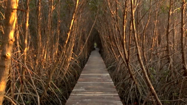 Old wood walkway through in mangrove forest video