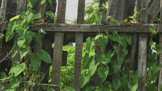 Old wooden fence covered with ivy video