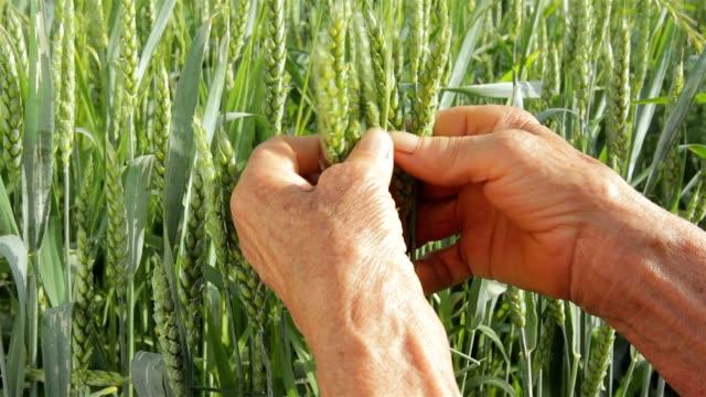 Old wrinkled farmers hands in wheat field video