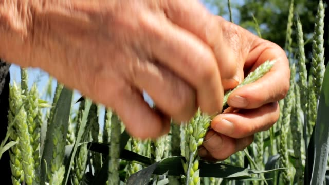 Old wrinkled farmers hands in wheat field video