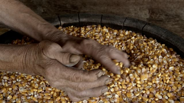 Old Wrinkled Farmers Hands Sifting Corn video