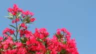 Oleander Blooms video