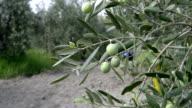 Olive Branch video