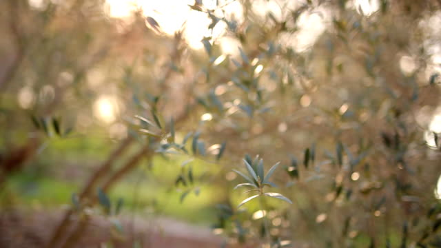 Olive branch with leaves close-up. Olive groves and gardens in M video