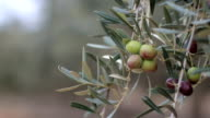 Olive Branch With Olives video
