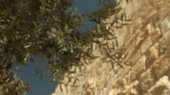 Olive Branches and the Wall of Jerusalem video