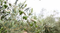 Olive Branches, Olive Fields And Trees In Southern Spain video