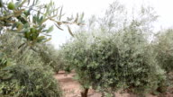Olive Branches With Olives On The Field video