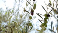 Olive branches with olives video