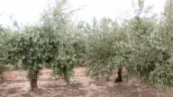 Olive field and trees in southern Spain video
