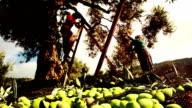Olive Harvest video