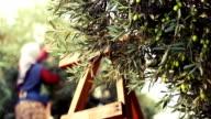 Olive Harvesting video