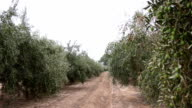 Olive Orchard With Unripe Olives video