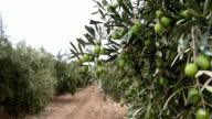Olive Plantation With Green Olives video