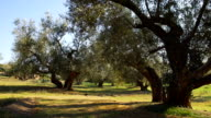 Olive tree branch and olives in a windy day video