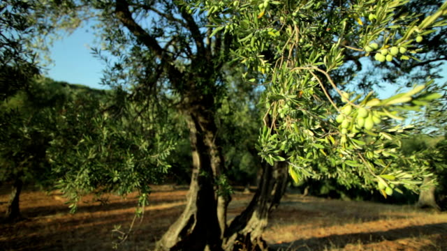 Olive Tree Branch  (Dolly Shot) video