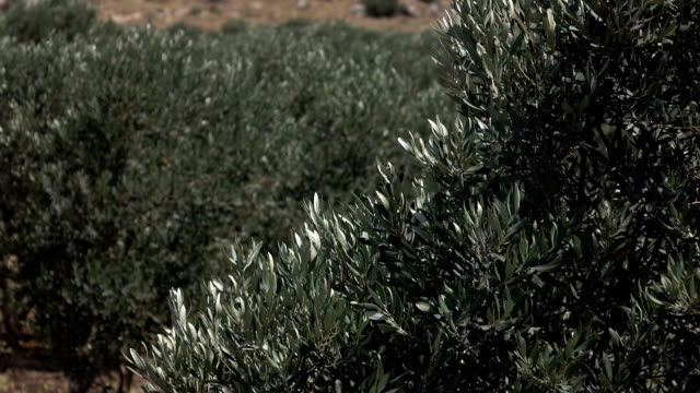 Olive Tree Branches Shaking in Wind in Israel video