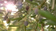 Olive tree close up video